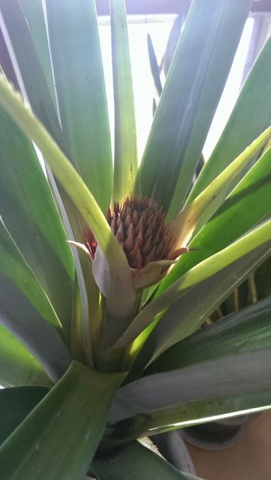 Growing A Pineapple From Start To Finish