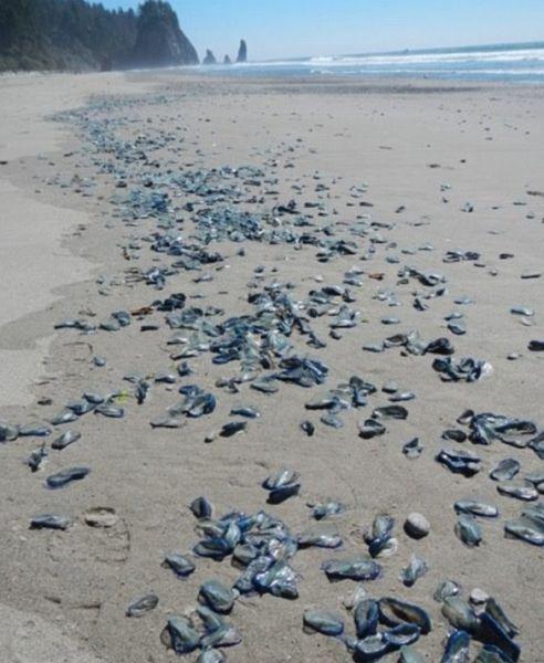 Californian Beaches are Overrun with Velella Velella