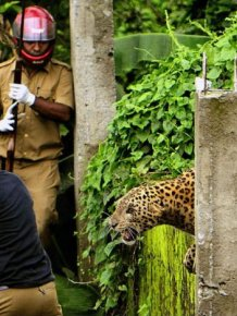When A Leopard Attacks