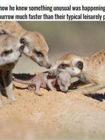 Meerkat Family Saving Their Pups