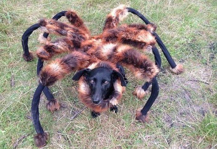 Dog Runs Around In A Giant Tarantula Costume