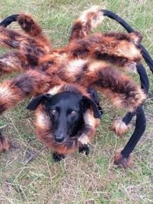 Dog Runs Around In A Giant Tarantula Costume