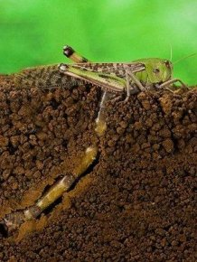 How A Locust Lays Eggs