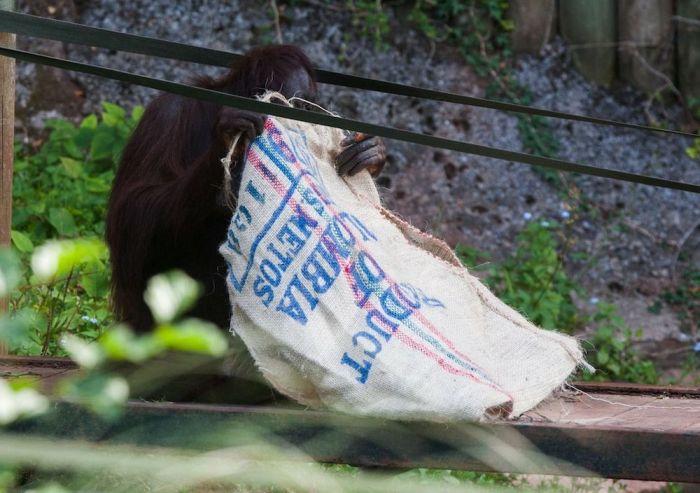 This Orangutan Wears Fancy Clothes