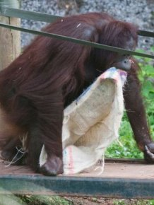 This Orangutan Wears Fancy Clothes