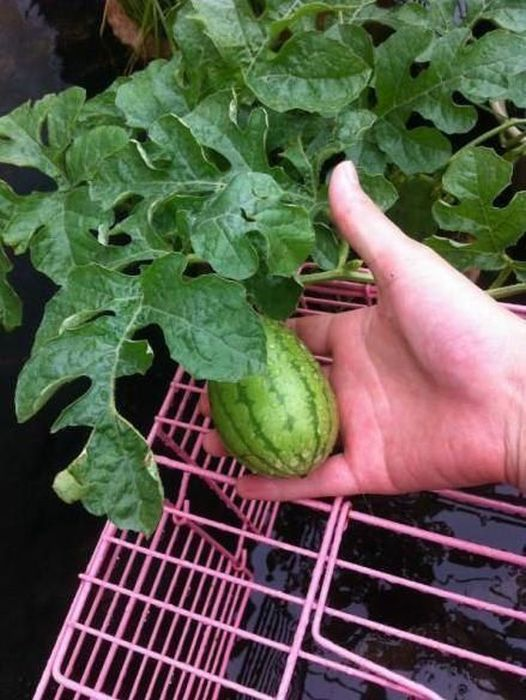 How A Watermelon Grows From Start To Finish