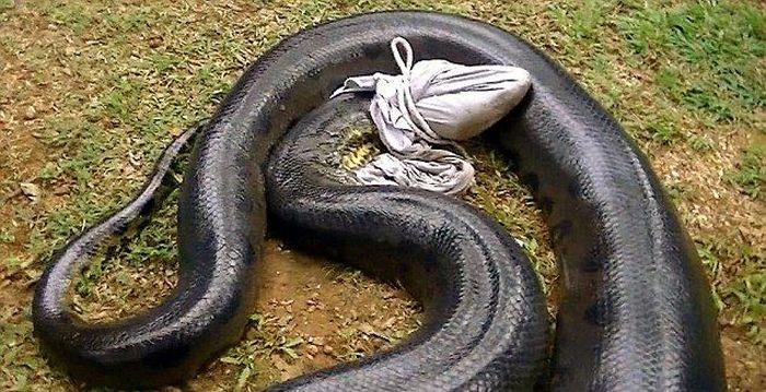 Giant Anaconda Snake