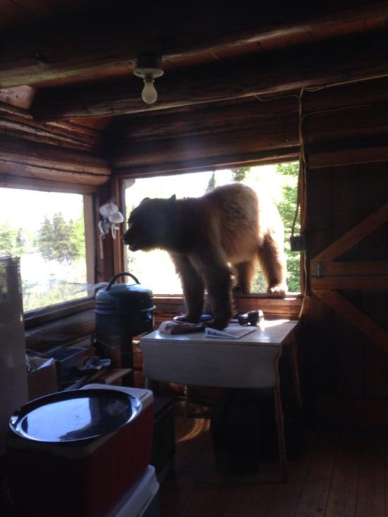 If This Bear Wants To Get In Then He's Gonna Get In