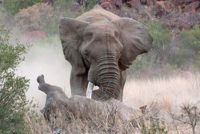 A Rhino And An Elephant Throw Down In The Jungle