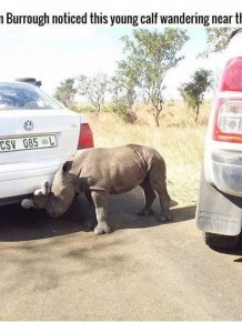 Poachers Leave Rhino Orphaned
