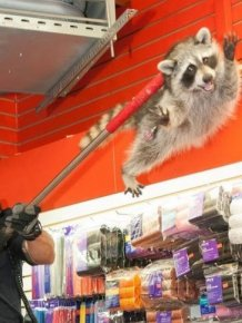 New York City Raccoon Becomes Internet Sensation