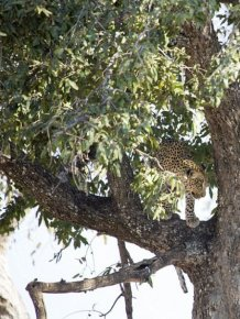 This Leopard Is An Excellent Hunter