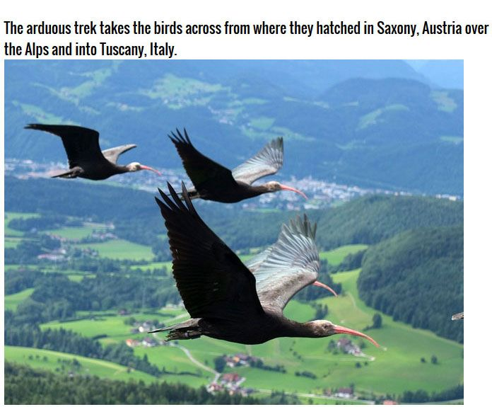 The Waldrapp Team Brings An Extinct Bird Back To Life