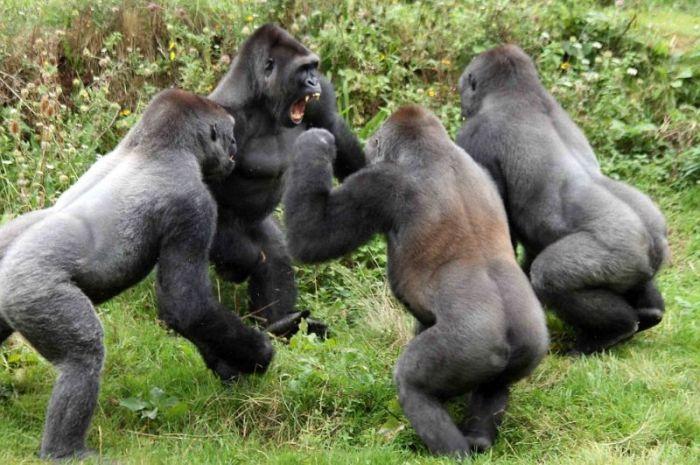 Gorillas Have A Tomato Fight