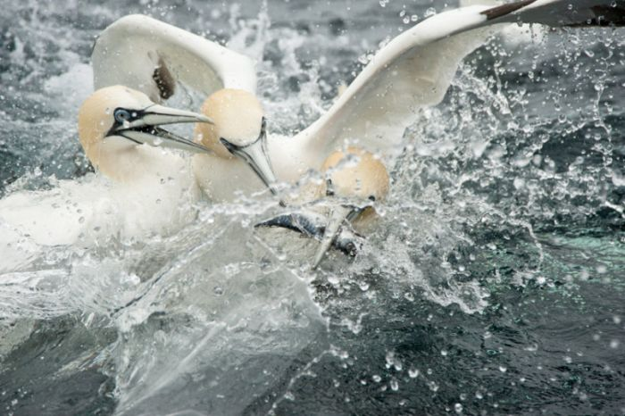 Gannets Diving For Fish In The Shetland Isles