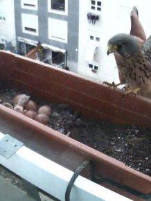 A Falcon Outside The Window