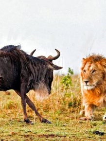 Lion Hunts A Wildebeast