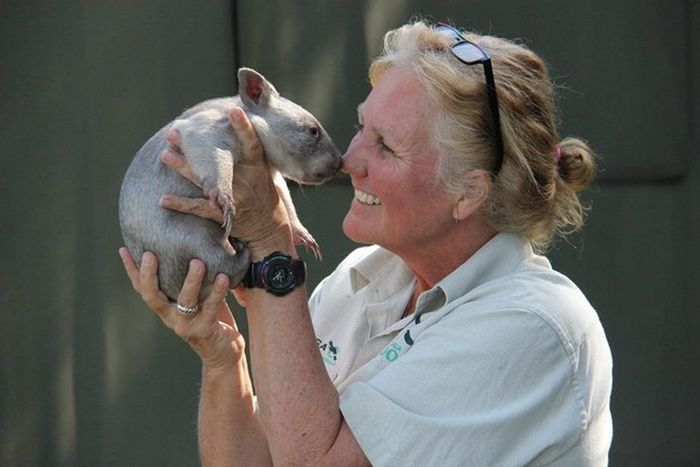 Orphaned Wombat Finds A New Home