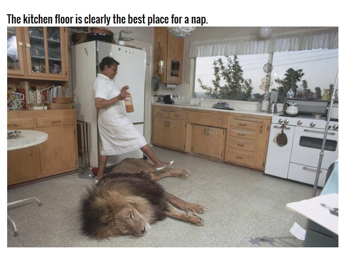 This Family Has A Lion As A House Pet