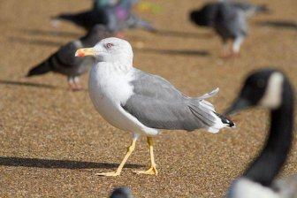 Seagulls Kill Pigeons For Lunch