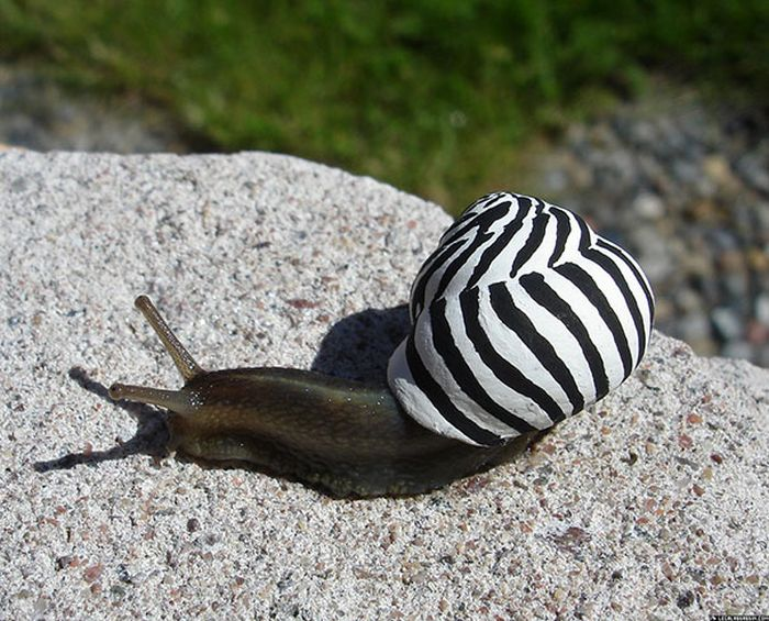 Snails With Pimped Out Shells