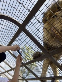 How To Get Up Close And Personal With Lions