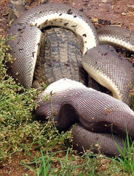 Giant Snake Fights A Crocodile Then Eats It