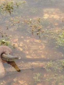 Giant Snake Fights A Crocodile Then Eats It