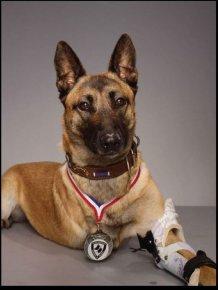 This Three Legged Dog Is A Veteran
