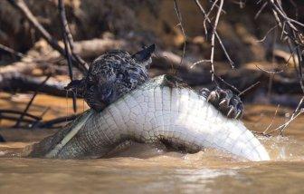 Jaguar Takes On A Crocodile In Epic Battle
