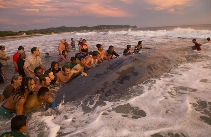 50 People Try To Save A Beached Whale