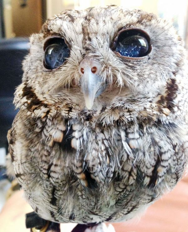 This Owl Has Stars In His Eyes