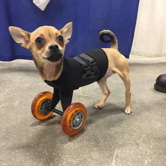 Two-Legged Chihuahua Finds A New Way To Get Around