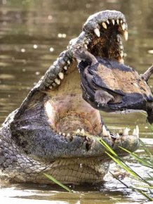 Escape From a Crocodile