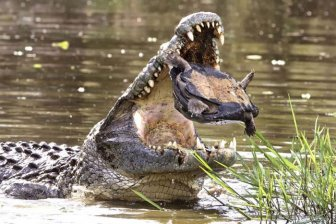 Escape From a Crocodile