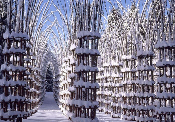 These Living Trees Come Together To Make A Beautiful Cathedral