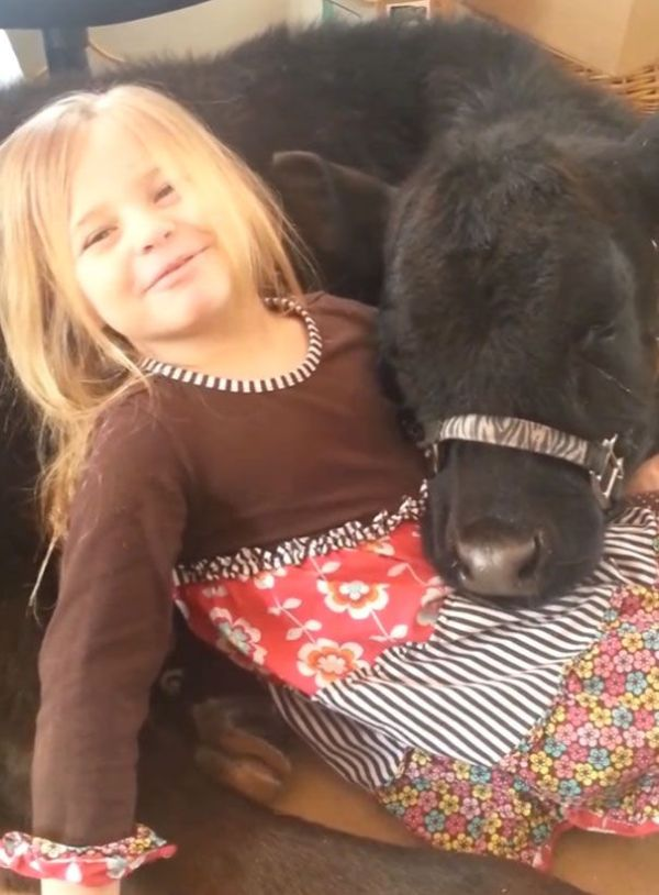This 5 Year Old Girl Snuck A Baby Cow Into Her Home