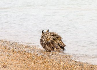 Did You Know That Owls Can Swim Too?