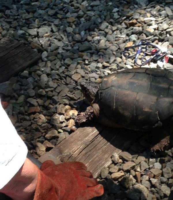 Turtle Gets Rescued From Railroad Tracks