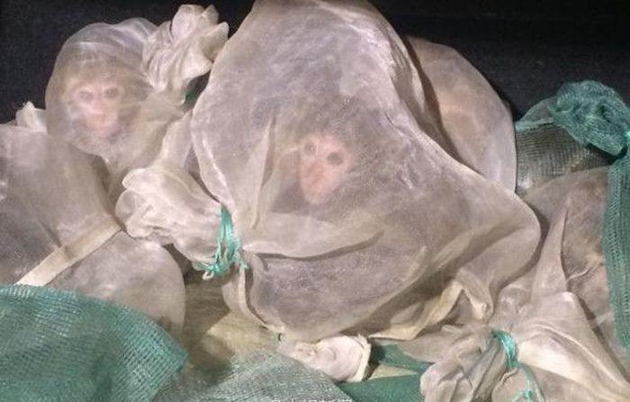 46 Live Monkeys In A Truck