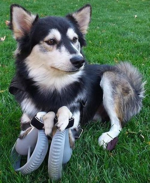 Thanks To 3D Printing This Dog Can Walk Again