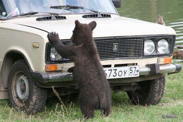 Bear Cubs Love People