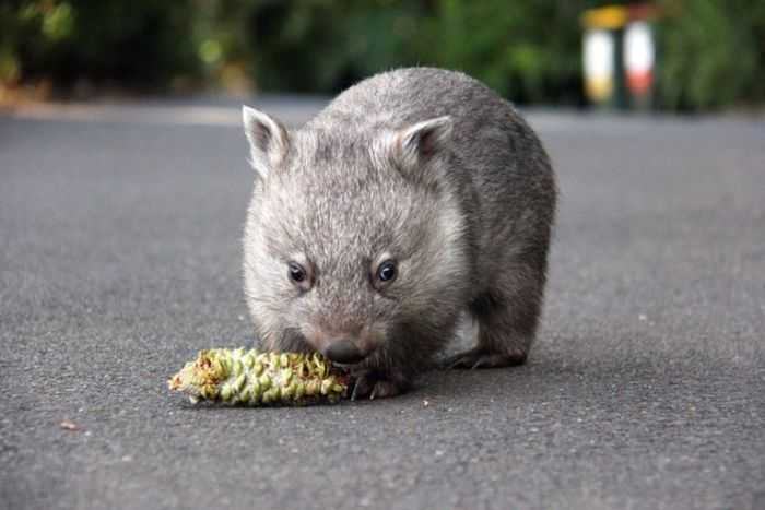 Wombat Chloe Learns To Live With Humans
