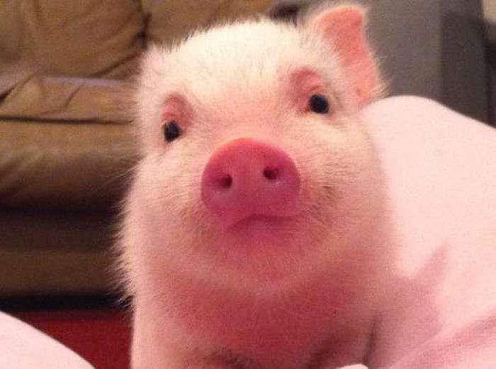 Proof That Pigs Make The Coolest Pets