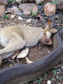Python Swallows A Wallaby Whole