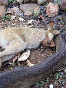 Python Swallows A Wallaby Whole