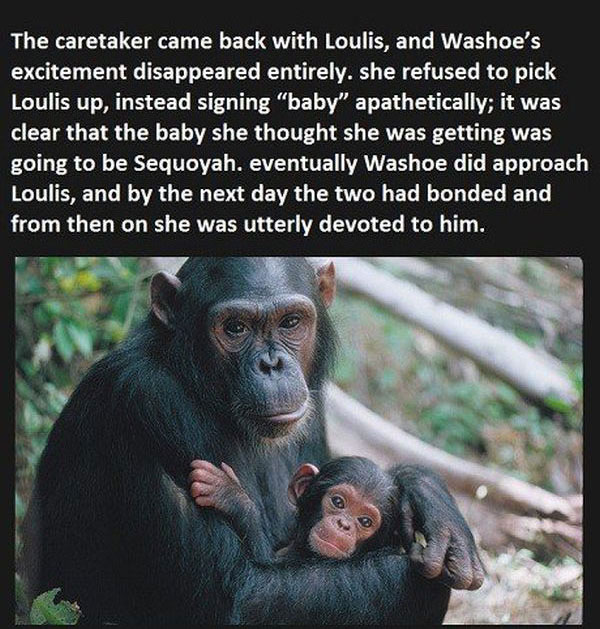 They Told This Chimp They Lost Her Baby, You Won't Believe Her Reaction