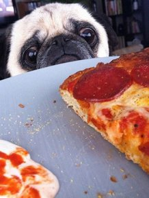 If You Have Food There's Got To Be A Pug Close By