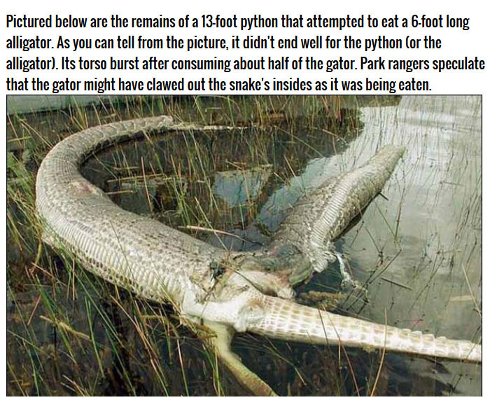 This Burmese Python Tried To Eat An Alligator But It Didn't End Well