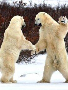 A Series Of Photogenic Polar Bears
